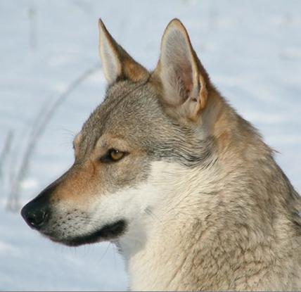 Czechoslovakian Wolfdog - Commentary on CSW judgement Image410