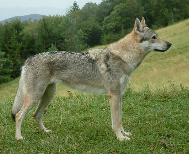 Czechoslovakian Wolfdog - Commentary on CSW judgement Image411