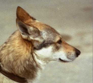 Czechoslovakian Wolfdog - Commentary on CSW judgement Image510