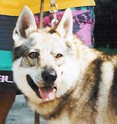 Czechoslovakian Wolfdog - Commentary on CSW judgement Image511