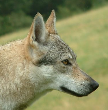 Czechoslovakian Wolfdog - Commentary on CSW judgement Image610