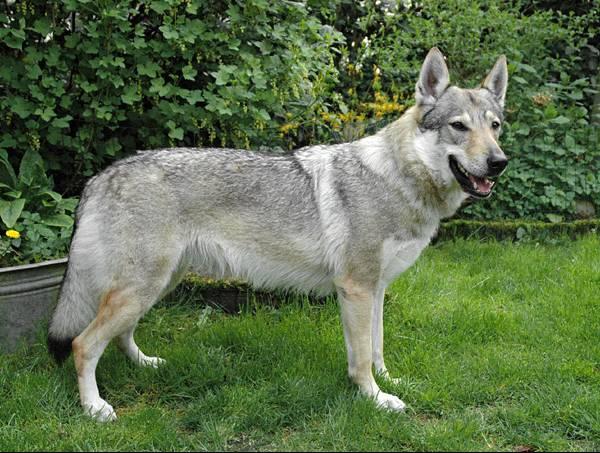 Czechoslovakian Wolfdog - Commentary on CSW judgement Image611