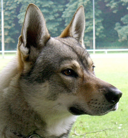 Czechoslovakian Wolfdog - Commentary on CSW judgement Image612
