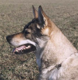 Czechoslovakian Wolfdog - Commentary on CSW judgement Image710