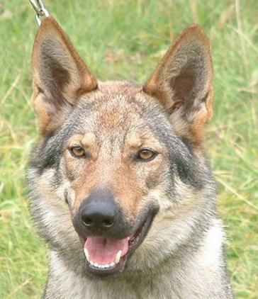 Czechoslovakian Wolfdog - Commentary on CSW judgement Image712