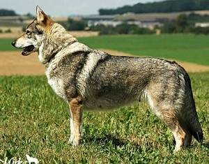 Czechoslovakian Wolfdog - Commentary on CSW judgement Image811