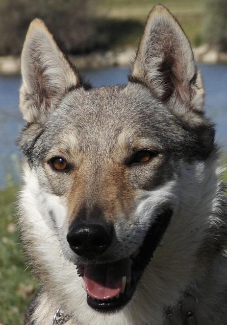 Czechoslovakian Wolfdog - Commentary on CSW judgement Image812