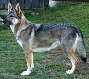 Czechoslovakian Wolfdog - Commentary on CSW judgement Image813