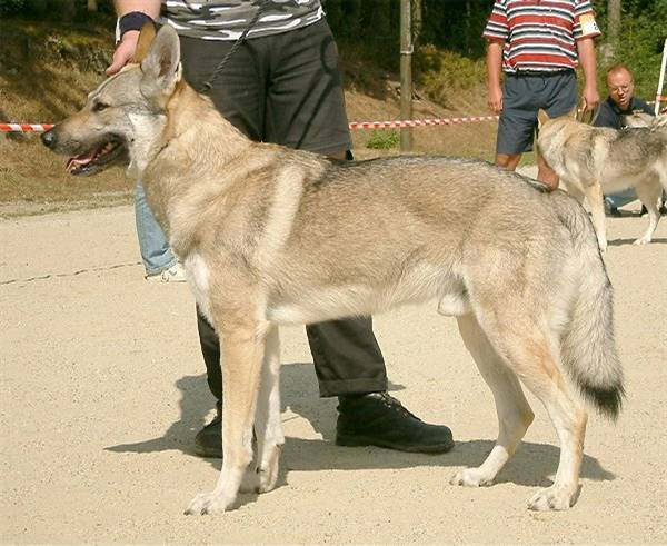 Czechoslovakian Wolfdog - Commentary on CSW judgement Image911