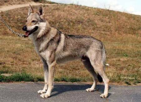 Czechoslovakian Wolfdog - Commentary on CSW judgement Typica10