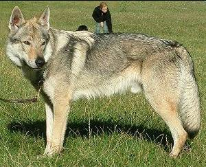 Czechoslovakian Wolfdog - Commentary on CSW judgement Typica11