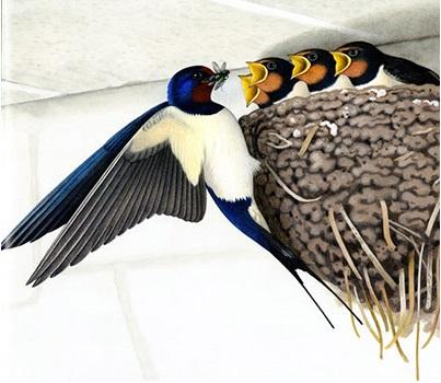 Hirondelle et son nid plein de bébés Une-an12