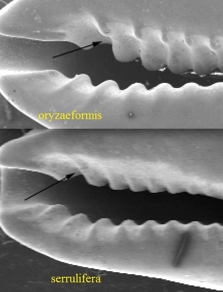 Purpuradusta oryzaeformis - Lorenz & Sterba, 1999 F1629310