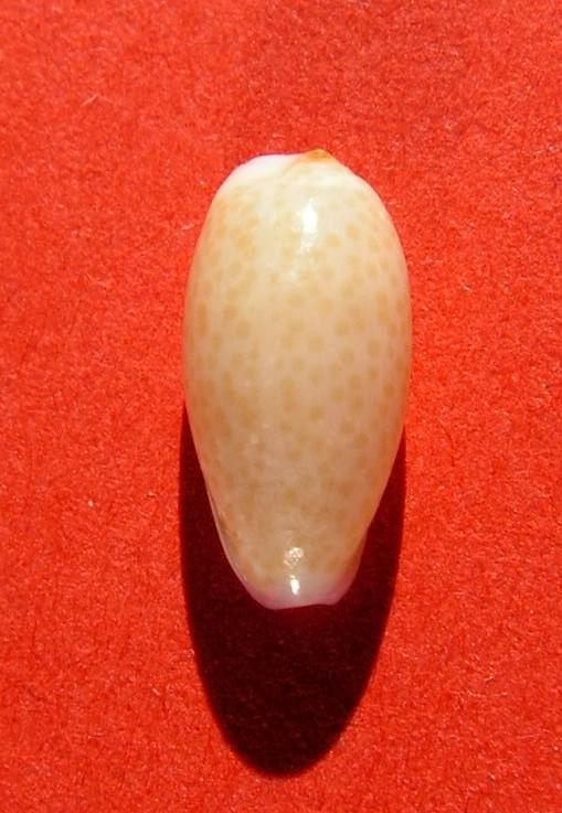Purpuradusta oryzaeformis - Lorenz & Sterba, 1999 P_serr10