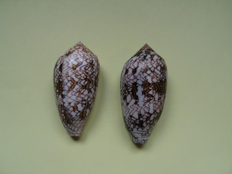 Conus (Cylinder) archiepiscopus  Hwass in Bruguière, 1792 Pict9413