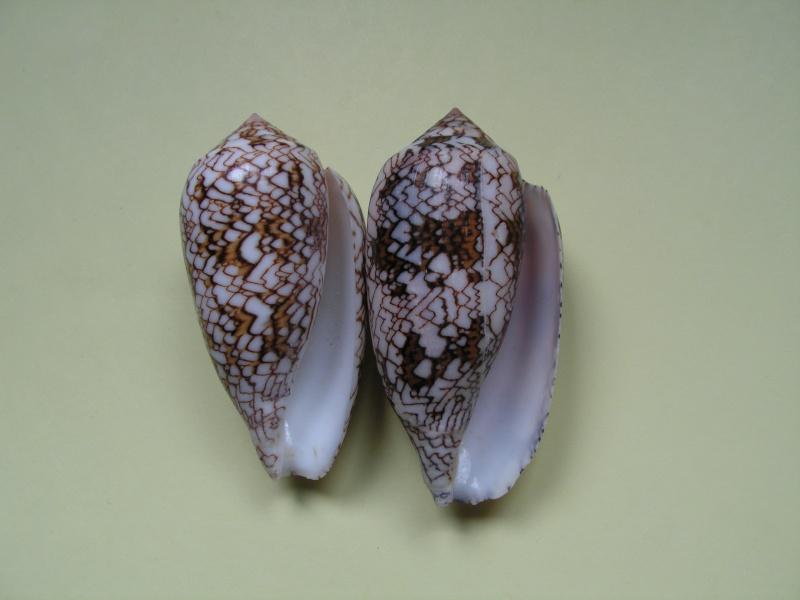 Conus (Cylinder) archiepiscopus  Hwass in Bruguière, 1792 Pict9414