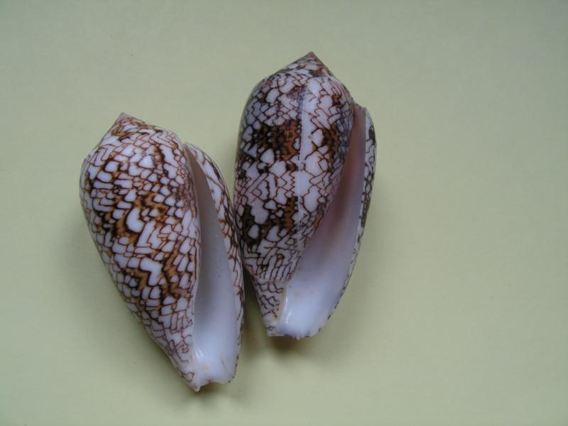 Conus (Cylinder) archiepiscopus  Hwass in Bruguière, 1792 Pict9415