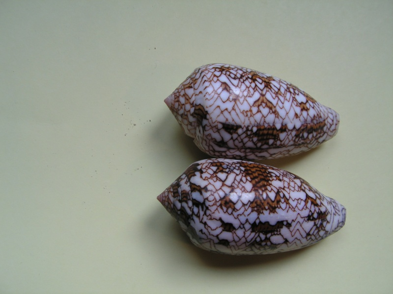Conus (Cylinder) archiepiscopus  Hwass in Bruguière, 1792 Pict9417