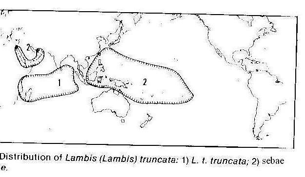 Lambis truncata sebae - (Kiener, 1843) - Page 2 Trunca10