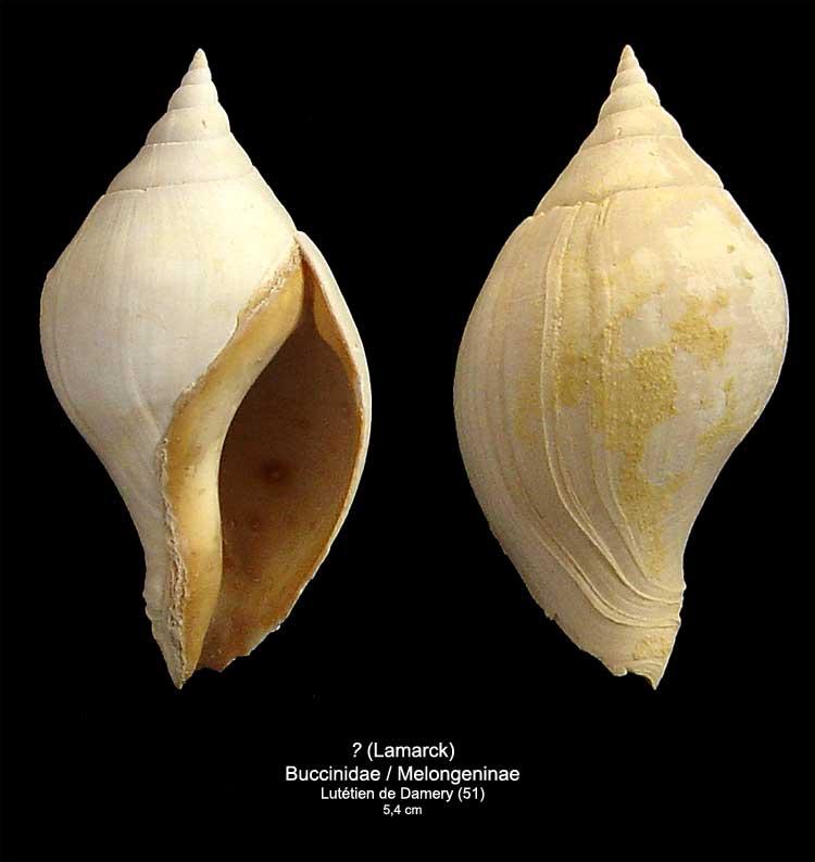 [résolu]Gastéropode Lutétien , Sycostoma bulbiforme Lamarck  2310