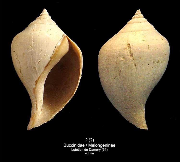 [résolu]Gastéropode Lutétien , Sycostoma bulbiforme Lamarck  2410