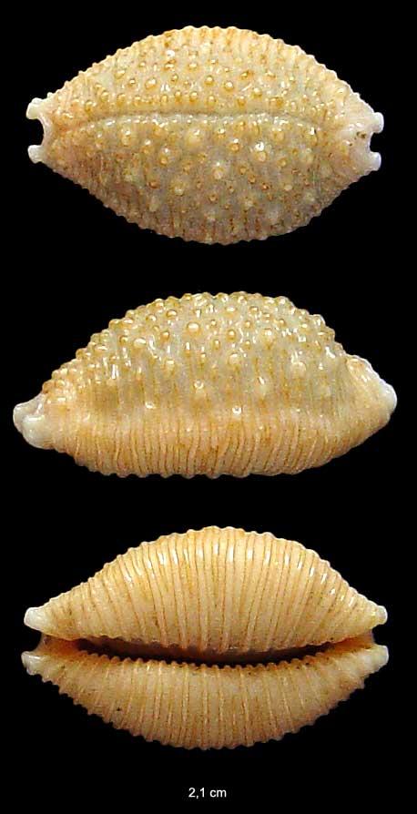 [résolu]Staphylaea nucleus (Linné, 1758) Coquil10