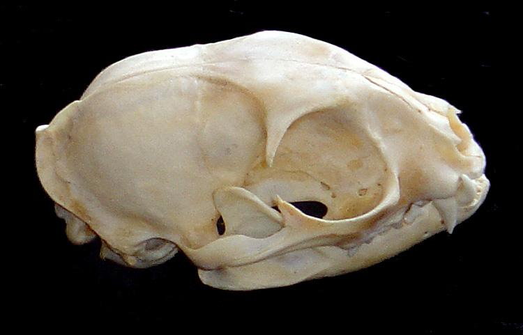 Crâne 1 : chat ? Crane113