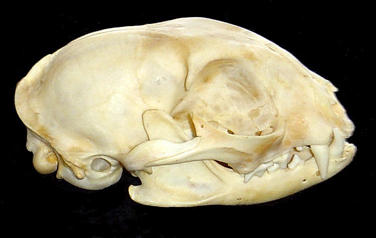 Crâne 1 : chat ? Crane114
