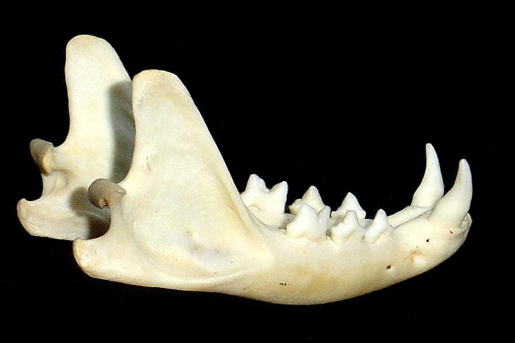 Crâne 1 : chat ? Crane115