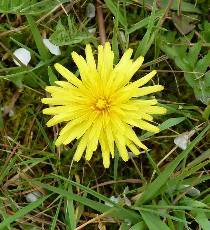 Le printemps est là, Leucojum vernum, Eranthis hyernalis Fleurs14