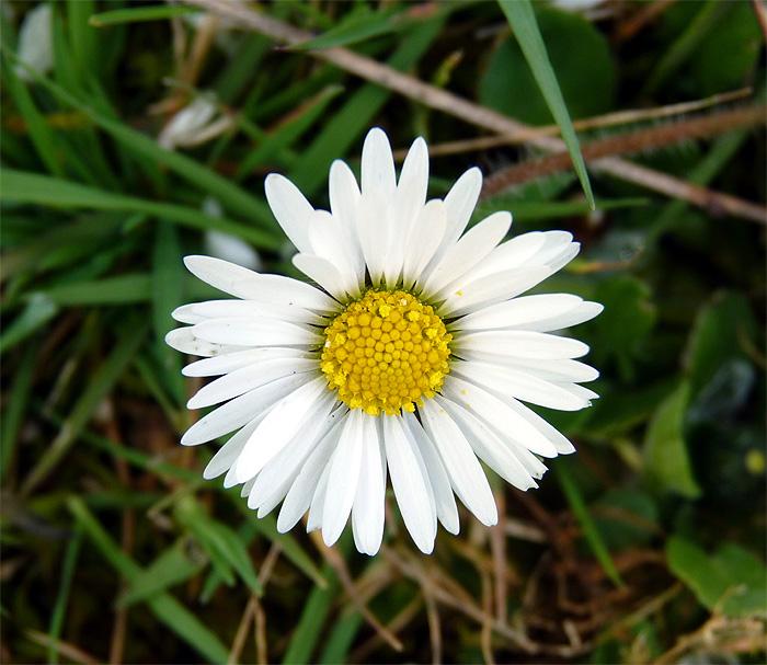 Le printemps est là, Leucojum vernum, Eranthis hyernalis Fleurs15