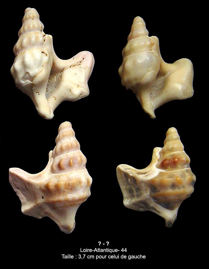 Aporrhaidae actuel et autres de Ste-Margo (44) Inconn10