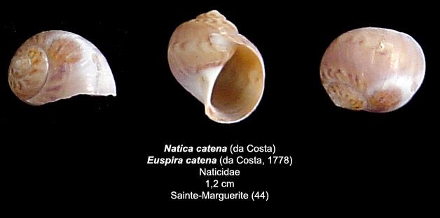 Aporrhaidae actuel et autres de Ste-Margo (44) Natica10