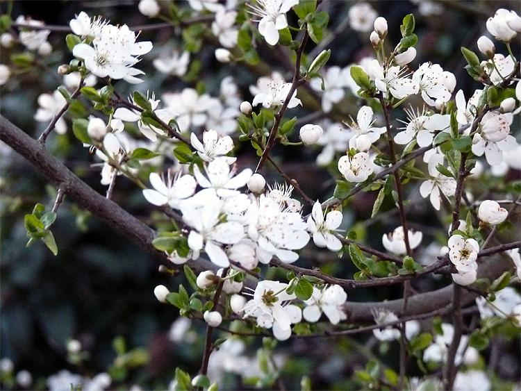 Le printemps est là, Leucojum vernum, Eranthis hyernalis Printe11