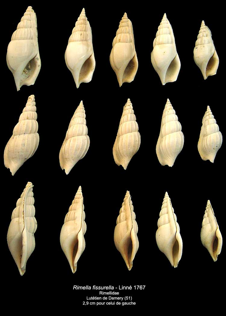 [résolu]Gastéropode Lutétien Damery n° 1 [Rimella fissurella -Linné] Rimell10