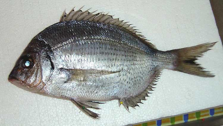 Nouveau poisson marin : un sar ? Sar13-10