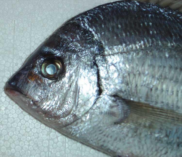 Nouveau poisson marin : un sar ? Sar13-11