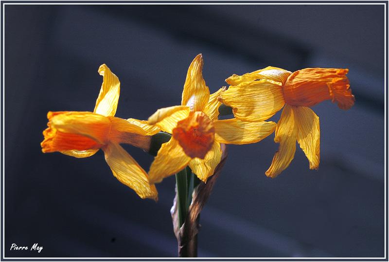Concours du mois d'avril 2010. Thème : Les premières fleurs du printemps Narcis11