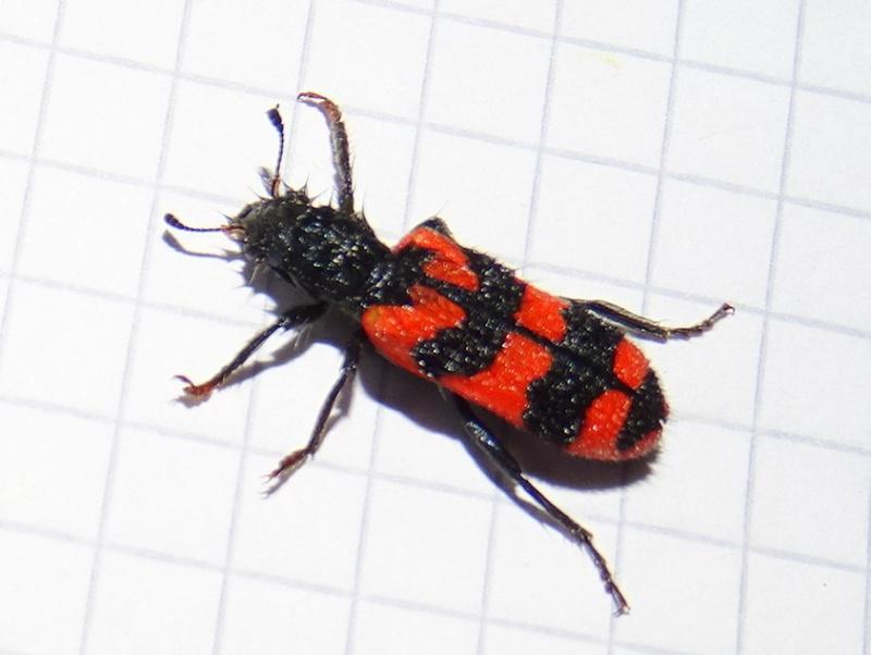 Polistes hôtel à insectes Dsc03313