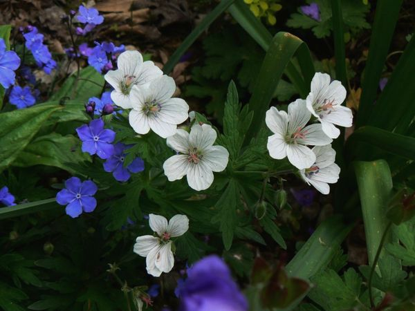 2016, les premières fleurs Aconit14