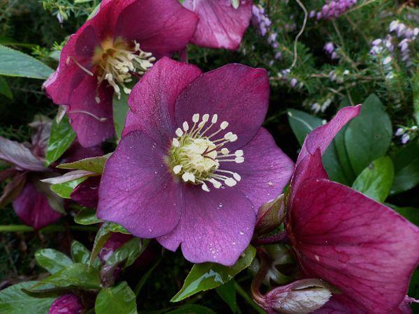 2016, les premières fleurs Frambo10