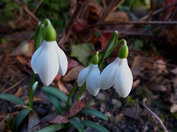 2016, les premières fleurs Rizehe10