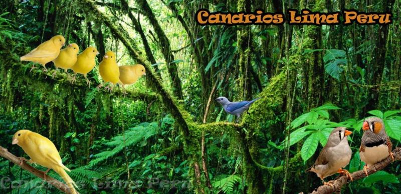 Canarios Lima Peru
