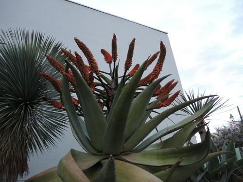 Aloe marlothii, Aloe rupestris, Aloe x principis : comparaison Dscn5319