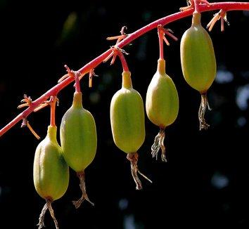 Beschorneria albiflora 3731_214