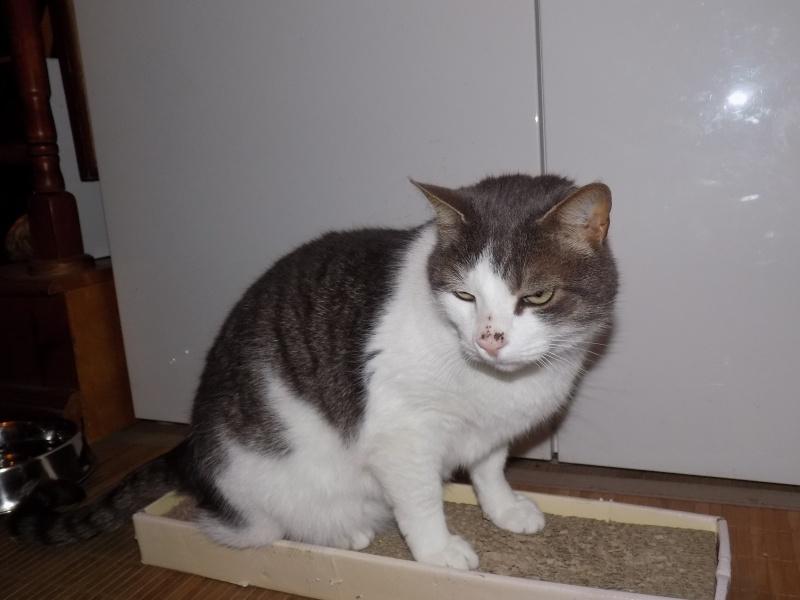 fethi - FETHI male gris et blanc né en 10/2010 Dscn0622
