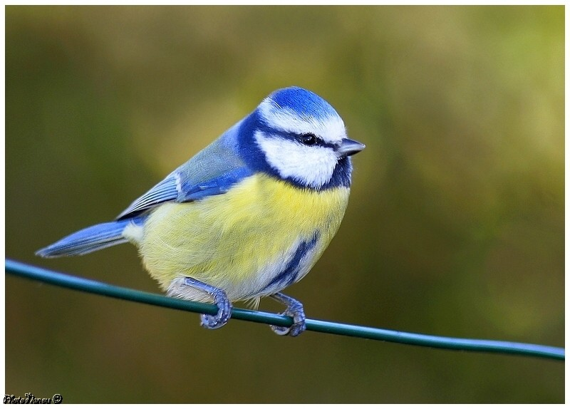 Les oiseaux chantent 26_oct12