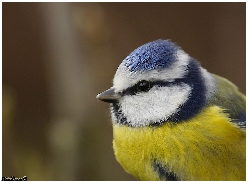Les oiseaux chantent Bleue10