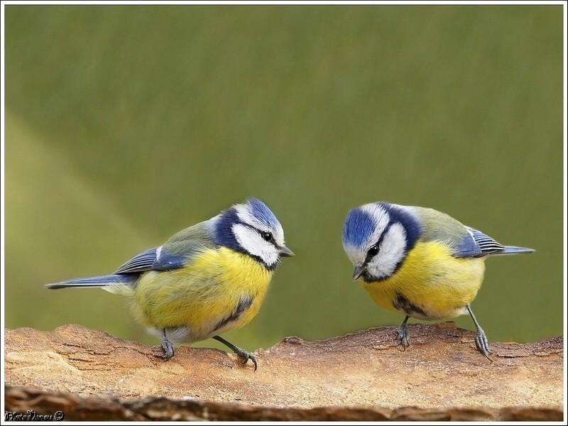 Les oiseaux chantent Duo_hf10