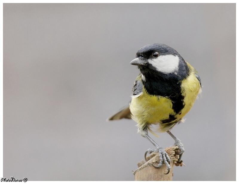 Les oiseaux chantent Mysang11